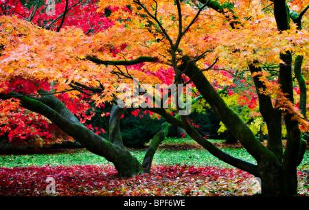 Japanese maples rich vibrant woodland canopy - Stock Photo