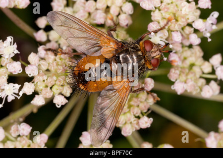 A parasitic tachinid fly, Tachina fera on Angelica; parasite on lepidoptera larvae. - Stock Photo