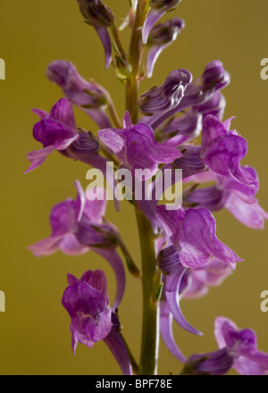 Purple Toadflax, Linaria purpurea in flower; naturalised in UK, from Italy. - Stock Photo