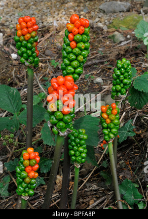 Cuckoo Pint or Lords and Ladies - Arum maculatum Spikes of red, green & yellow berries. - Stock Photo