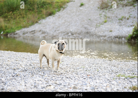 Pug dog by a river - Stock Photo