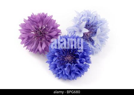 Cornflower - Stock Photo