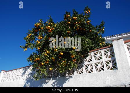 Orange tree hanging over a villa wall, Riviera del Sol, Mijas Costa, Costa del Sol, Malaga Province, Andalucia, - Stock Photo