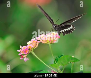 Common Mormon Butterfly feeding on a Lantana Camara flower - Papilio Polytes Romulus - Stock Photo