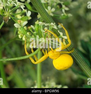 Goldenrod crab spider (Misumena vatia) waiting for prey in a umbellifer flower - Stock Photo