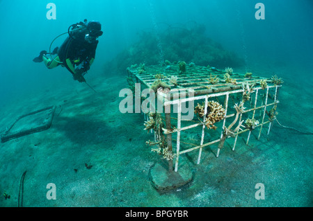 A diver examining a Biorock structure, Pemuteran, Bali, Indonesia. - Stock Photo
