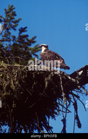 Osprey in nest above the Russian River, Sonoma County, California. - Stock Photo