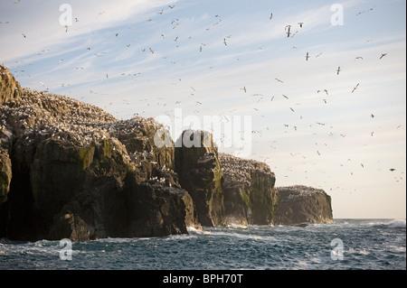 Breeding Gannets Sula bassana covering the island of Grassholm (RSPB) Wales July - Stock Photo