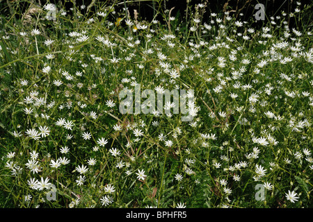Lesser stitchwort (Stellaria graminea) flowering in grassland - Stock Photo
