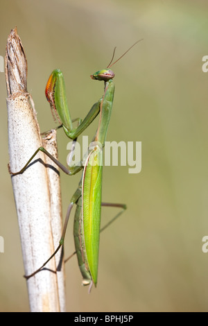 Mantis sitting still on a straw waiting for her prey. - Stock Photo