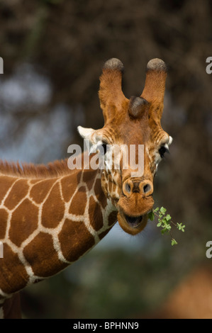 Reticulated giraffe ( Giraffa camelopardalis reticulata), Samburu and Buffalo Springs National Reserve, Kenya - Stock Photo