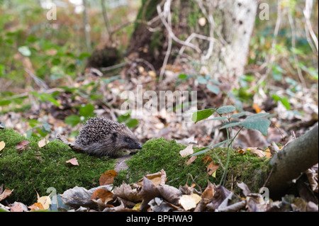 Hedgehog Erinaceus europaeus in woodland Norfolk UK autumn - Stock Photo