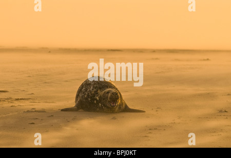 Grey Seal Halichoerus grypus on beach Blakeney Point Norfolk November - Stock Photo