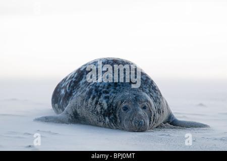 Grey Seal Halichoerus grypus on beach Blakeney Point Norfolk November - Stock Photo