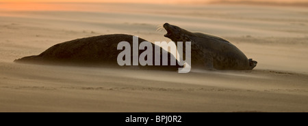 Grey Seals Halichoerus grypus bull and female on beach Blakeney Point Norfolk November - Stock Photo