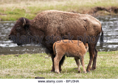 Mother Bison Nursing Baby Calf Along Madison River, Yellowstone National Park, Wyoming - Stock Photo