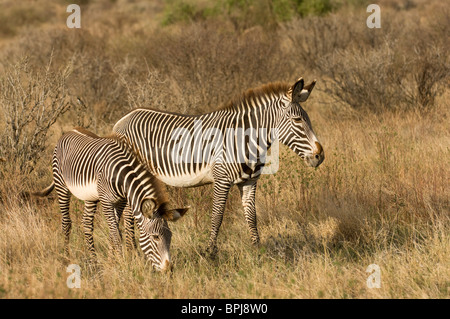 Grevy's zebra (Equus grevyi), Samburu and Buffalo Springs National Reserve, Kenya - Stock Photo