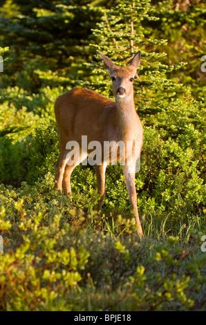 Black-tailed Deer or Mule Deer (Olocoileus hemionus) in Mt. Rainier National Park, Washington, USA - wild - Stock Photo