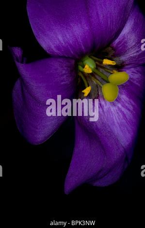 Purple Lisianthus - Stock Photo