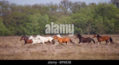 Animal New Forest Ponies Park Wild  United Kingdom - Stock Photo
