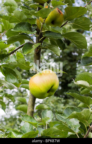 A Giant cooking Apple on a Branch - Stock Photo