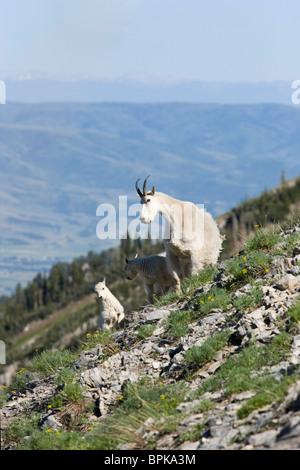 family group of three wild rocky mountain goats on steep terrain in Utah - Stock Photo