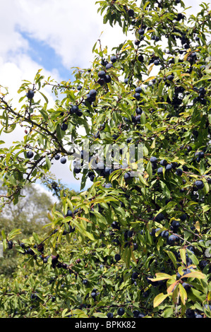 damson tree with fruit at kew gardens,london summer 2010 - Stock Photo