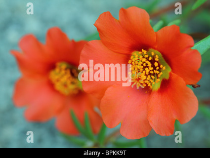 Orange moss rose flowers close up Portulaca grandiflora - Stock Photo