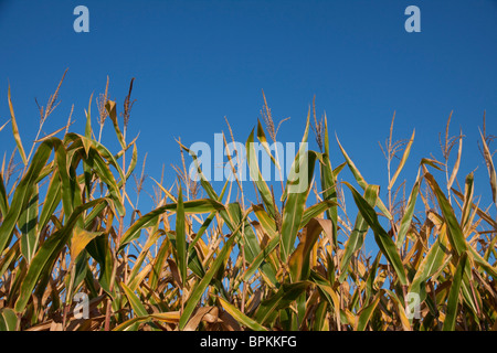 Field Corn Late Summer Michigan USA - Stock Photo