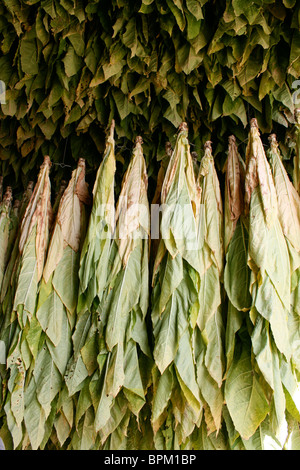 tobacco plant leaves hanging in drying shed to dry - Stock Photo