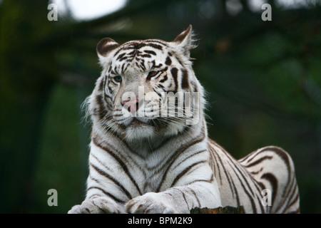 White Tiger (Panthera tigris) lying down - Stock Photo