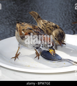Sparrows peck on cake crumbs left on a plate. - Stock Photo