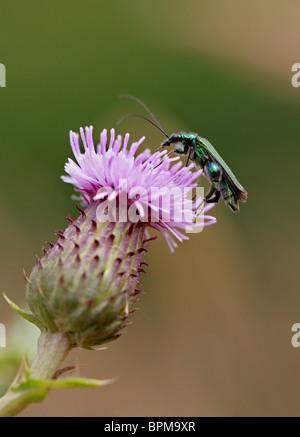 Male Thick Legged Flower Beetle, Oedemera nobilis, Oedemeridae, on a Thistle Flower.