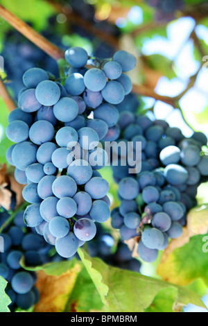 Bunch of blue grapes in a vineyard - Stock Photo