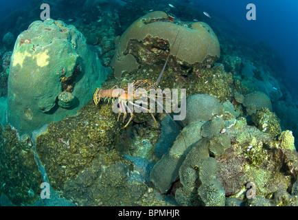 Caribbean Spiny Lobster Panulirus Argus Caribbean Cuba Stock Photo 23802377 Alamy