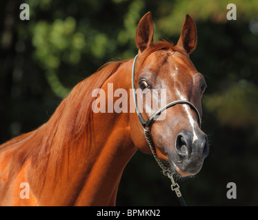 Portrait of a young arabian stallion - Stock Photo