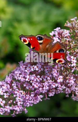 Peacock butterfly on Buddleja davidii 'Gulliver' photographed in Yorkshire, UK - Stock Photo