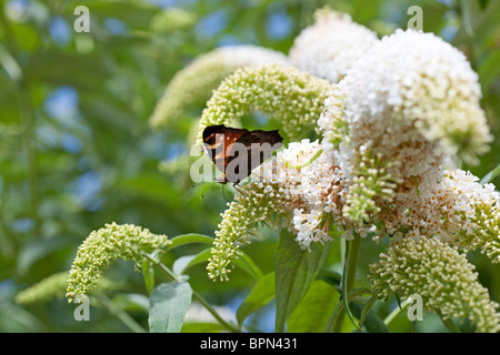 Peacock butterfly on Buddleja davidii 'Les Kneale' photographed in Yorkshire UK - Stock Photo