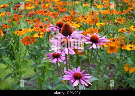 Mid summer border of Echinacea Purpurea 'Magnus' and Helenium 'Waldtraut' - Stock Photo