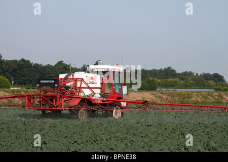 Vegetable Production. Commercial grower spraying herbicide on to Savoy Cabbage, Tarleton Preston, West Lancashire, - Stock Photo