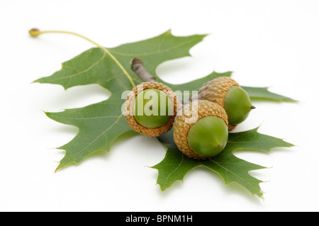 Three acorns and a leaf from northern red oak, Quercus rubra. - Stock Photo