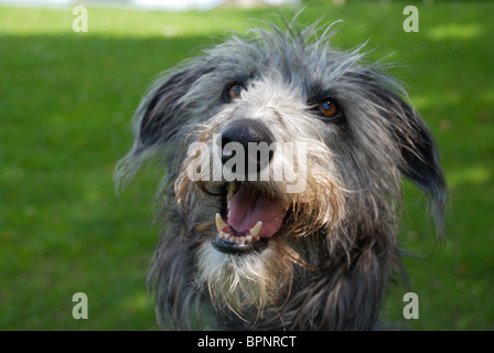 Tilly the DEER HOUND - Stock Photo