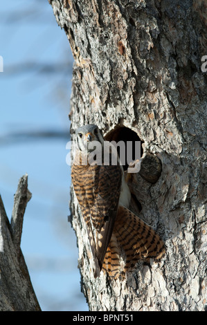 American Kestrel in front of pine tree on the Falls Trail near Lander, Wyoming - Stock Photo