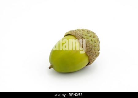 An acorn from chestnut oak, Quercus prinus or Quercus montana - Stock Photo
