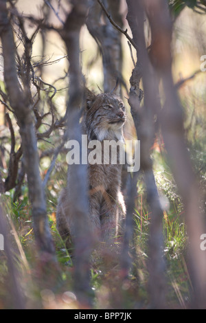 Wild lynx, Denali National Park, Alaska. - Stock Photo