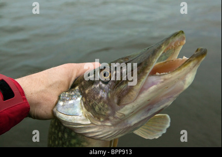 The head of a Northern Pike, Esox lucius, caught in the lake Vansjø in Østfold, Norway. Vansjø is a part of the - Stock Photo