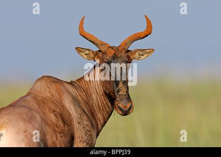 Portrait of a rare tsessebe antelope (Damaliscus lunatus), South Africa - Stock Photo