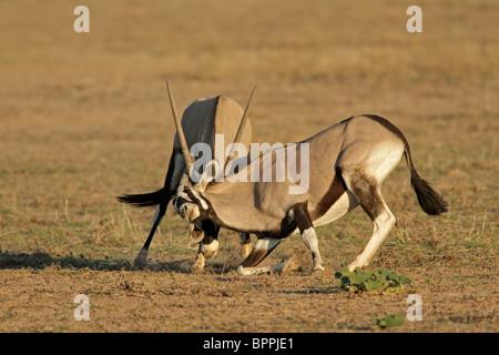 Two male gemsbok antelopes (Oryx gazella) fighting for territory, Kgalagadi Transfrontier Park, South Africa - Stock Photo