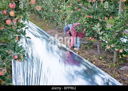 Worker installing Mylar, apple orchard. - Stock Photo