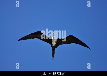Adult female Magnificent Frigatebird (Fregata magnificens) soaring above the Pacific Ocean - Stock Photo